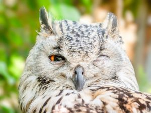 Image of an owl with one eye closed.